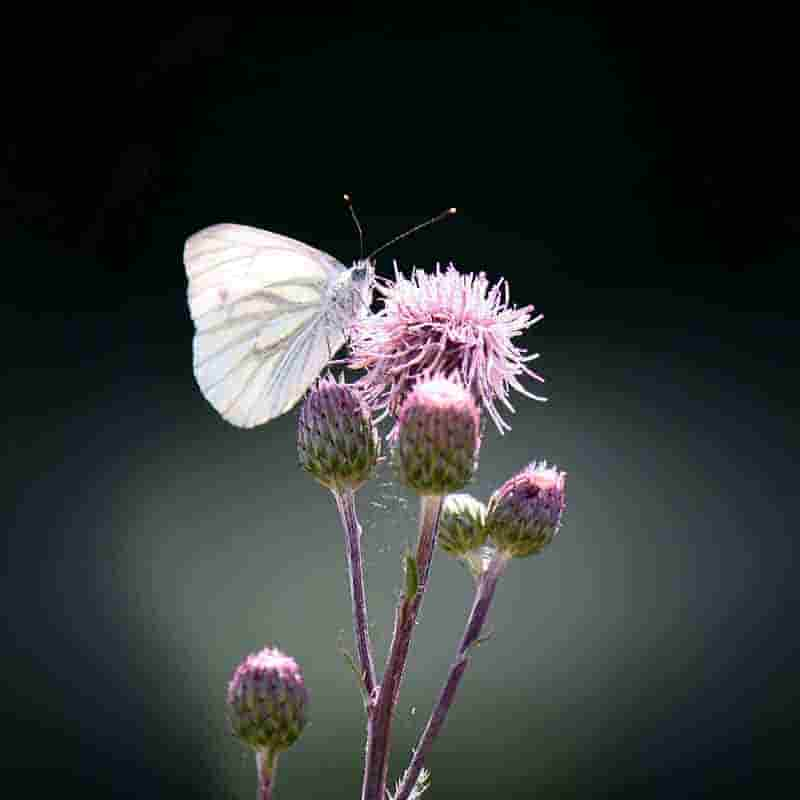 mariposas blancas bonitas