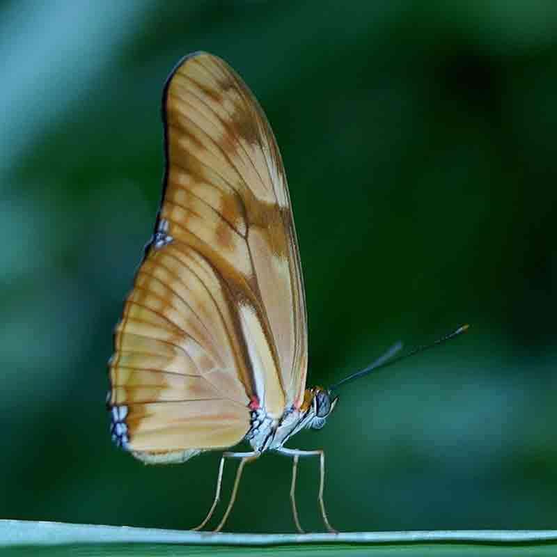mariposas blancas grandes