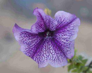 flor de globo
