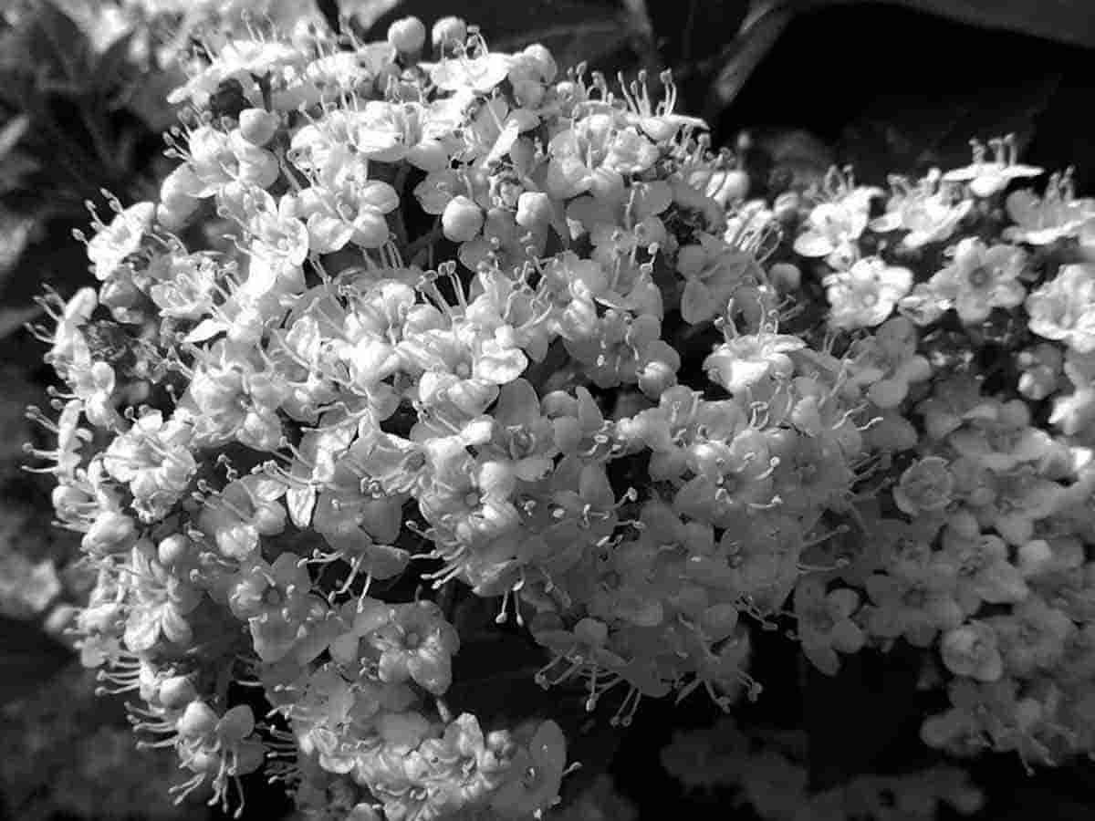 flores en blanco y negro