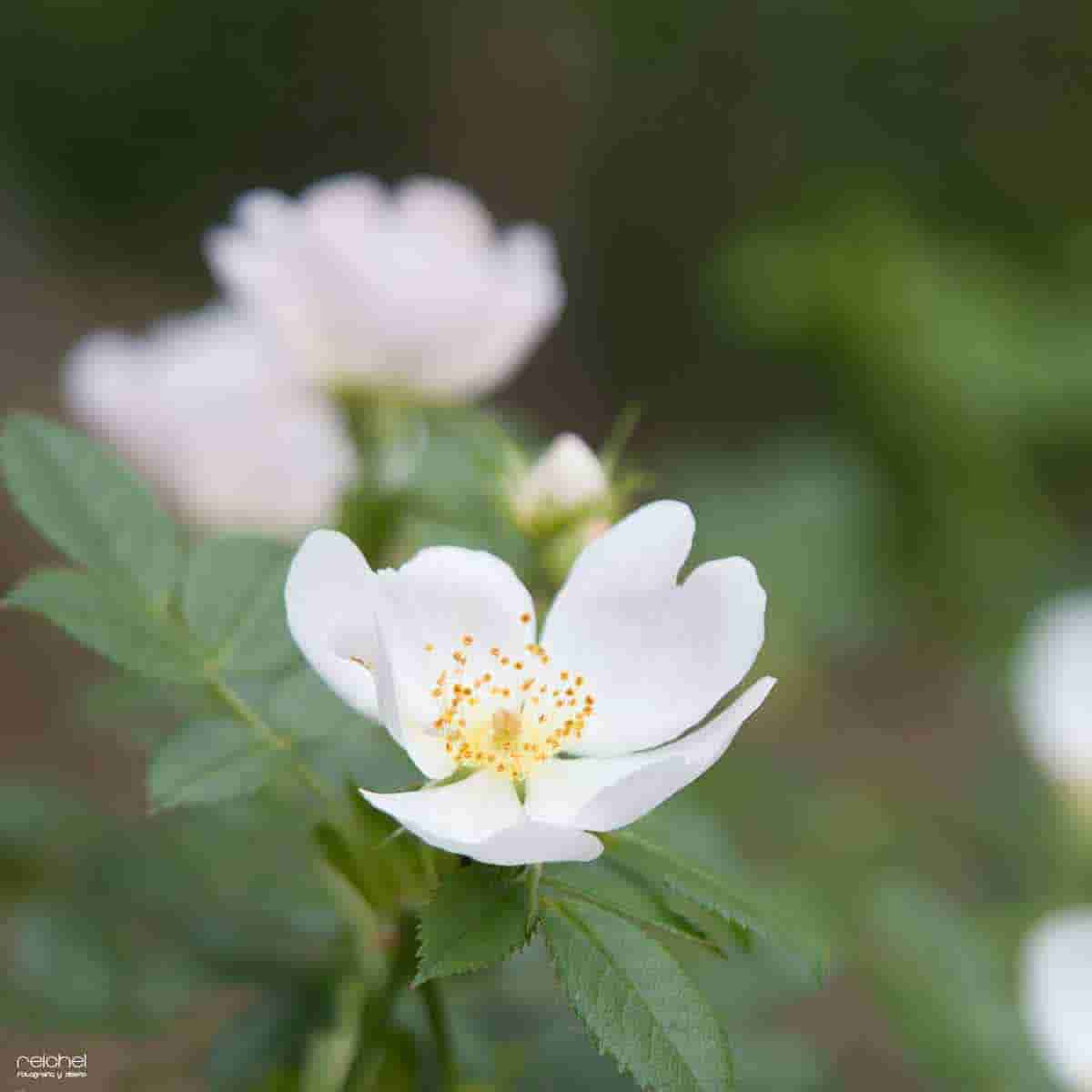 flor blanca hermosa