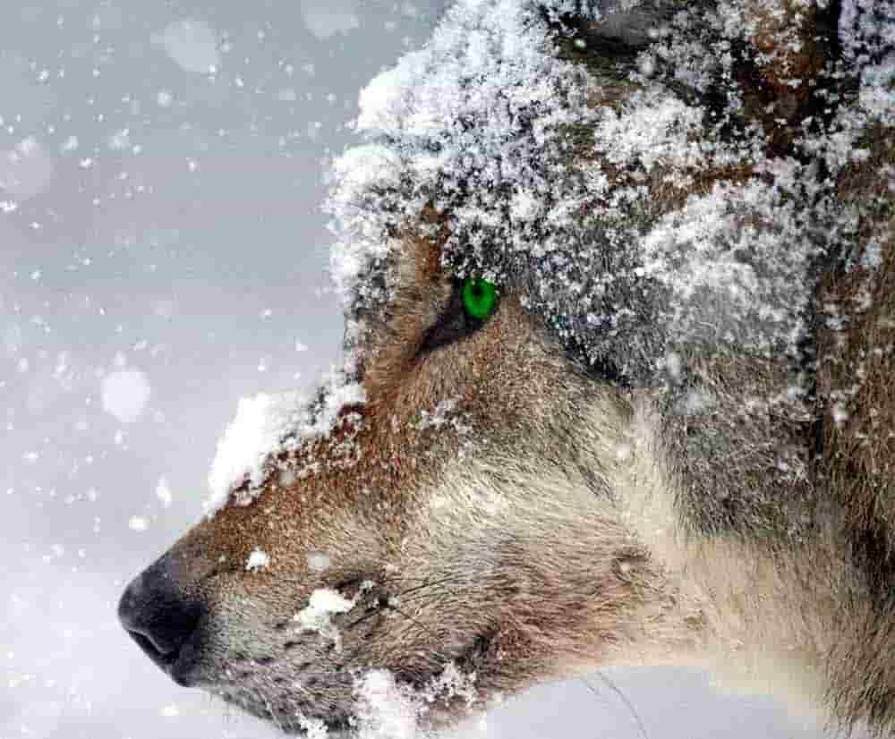 lobo depredador
