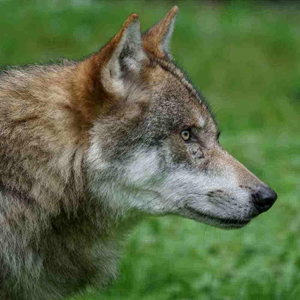 lobo en el bosque