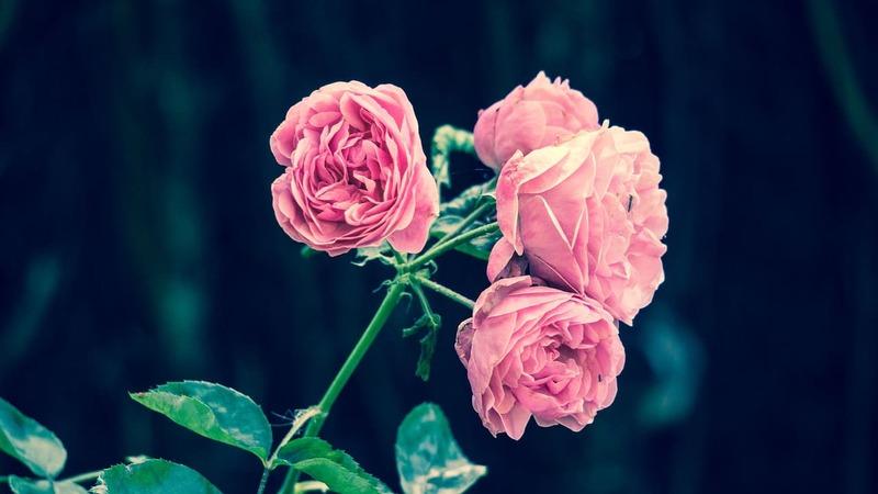 rosa para perfil bonitas